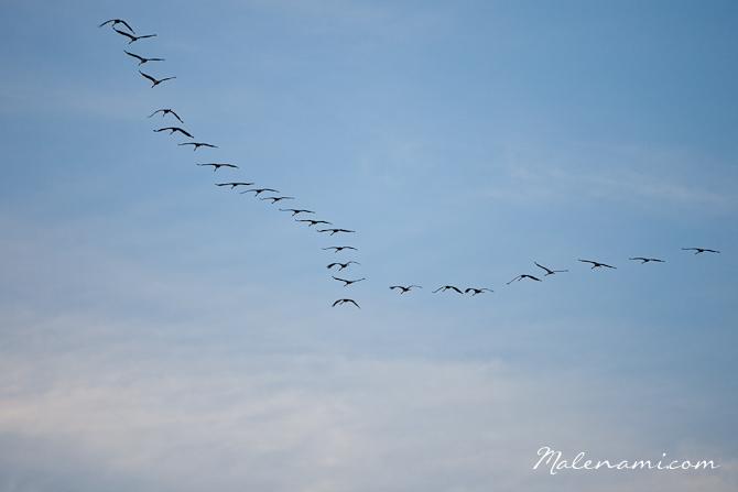 swan-sailing-0100